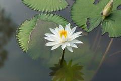 Białego Żółtego Lotosowego kwiatu i Lotosowego kwiatu rośliny Obrazy Royalty Free