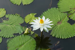 Białego Żółtego Lotosowego kwiatu i Lotosowego kwiatu rośliny Fotografia Royalty Free