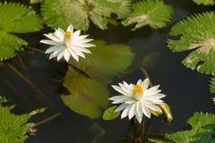 Białego Żółtego Lotosowego kwiatu i Lotosowego kwiatu rośliny Obrazy Stock