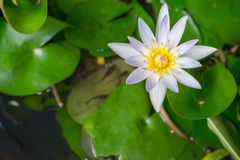 Białego Żółtego Lotosowego kwiatu i Lotosowego kwiatu rośliny Obraz Stock