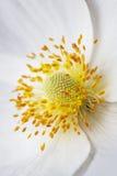 Białego anemonowego kwiatu makro- sedno, tło Obraz Stock