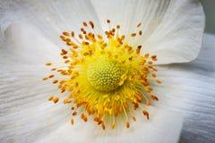 Białego anemonowego kwiatu makro- sedno, tło Zdjęcie Stock