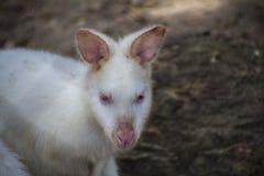 Białego Bennett Wallaby albinosa Wallaby, albinosów Wallabies,/ obrazy stock