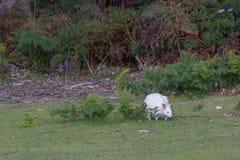 Białego Bennett wallaby lub necked wallaby zdjęcie royalty free