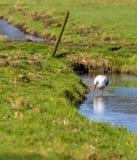 Białego bociana foraging zdjęcie stock