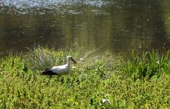 Białego bociana ptasi gmeranie dla zdobycza na jeziornym wybrzeżu, ptak przejście zdjęcia royalty free