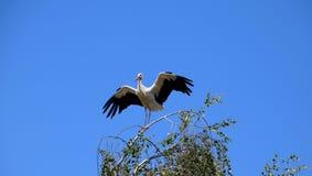 Białego bociana ptasia pozycja na gałąź, ptak przejście obraz royalty free