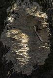 Białego drzewa gnicia grzybowy dorośnięcie na cisawym drzewie zdjęcie royalty free