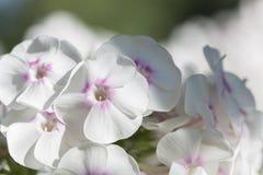 Białego floksa jaskrawy letni dzień Obraz Royalty Free