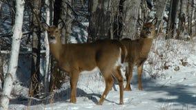 Białego gwoździa jelenia rodzina w zimie Zdjęcie Royalty Free
