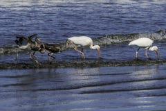 Białego ibisa rodzinny jeść wpólnie obrazy royalty free
