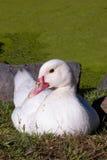 Białego kaczka Czerwonego belfra Siedzący staw Obrazy Royalty Free