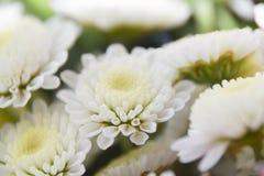 Białego kolor żółty róży kwiatu abstrakcjonistycznego tła bokeh makro- płatki Obraz Stock
