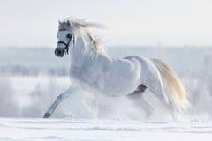 Białego konia cwałowanie przez pole w zimie. Obrazy Stock