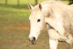 Białego konia odprowadzenie na polu zdjęcia stock