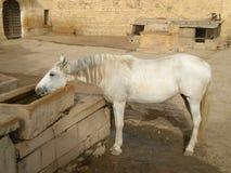 Białego konia woda pitna fotografia royalty free
