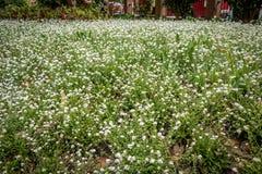Białego kwiatu łata, Wellington Nowa Zelandia Obraz Stock