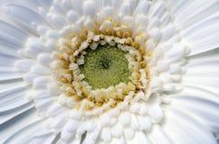 Białego kwiatu aster zdjęcie royalty free