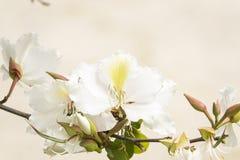 Białego kwiatu azalie na pojedynczej gałąź z nieotwartymi pączkami dla kartki z pozdrowieniami zdjęcia royalty free