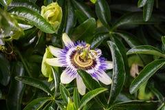 Białego kwiatu błękita passionflower Fotografia Stock
