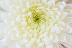 białego kwiatu chryzantemy tekstury tło zdjęcie stock