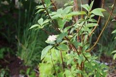 Białego kwiatu deski zieleni liść obrazy royalty free