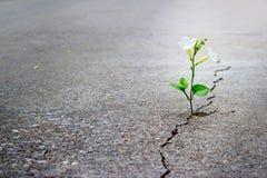 Białego kwiatu dorośnięcie na krekingowej ulicie, miękka ostrość, pusty tekst Zdjęcia Stock