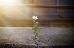 Białego kwiatu dorośnięcie na krekingowej ulicie w sunbeam obraz royalty free