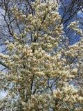 Białego kwiatu drzewo Zdjęcia Stock