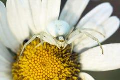 Białego kwiatu kraba pająk Misumena na stokrotce Zdjęcia Royalty Free