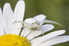 Białego kwiatu kraba pająka Misumena vatia na stokrotce Zdjęcia Stock