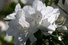 Białego kwiatu kwitnienie Zdjęcia Stock
