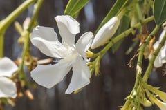 Białego kwiatu Nerium oleander Obrazy Stock
