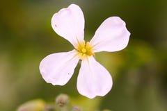 Białego kwiatu nieznane imię Zdjęcie Stock