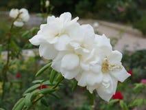 Białego kwiatu płatki r zwartą koronkę blisko wyplatającą z each inny z wyginającym się badylem i sukulentów liśćmi Ja patrzeje zdjęcie stock