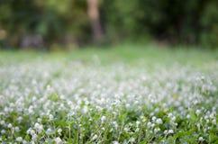 Białego kwiatu pola defocused abstrakcjonistyczny tło Zdjęcie Royalty Free