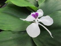 Białego kwiatu tropikalna roślina, Aromatyczny imbir lub kaempferia galanga, zdjęcia stock