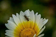 białego kwiatu wiith insekt zdjęcie stock