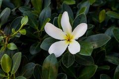 Białego kwiatu zbliżenia Kwiatonośni drzewa zdjęcie royalty free