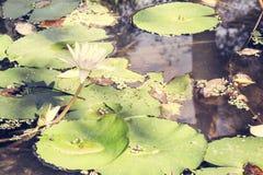 Białego Lotosowego kwiatu i Lotosowego kwiatu rośliny Obrazy Stock