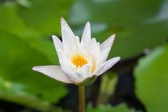 Białego Lotosowego kwiatu i Lotosowego kwiatu rośliny Obraz Royalty Free