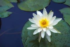 Białego Lotosowego kwiatu i Lotosowego kwiatu rośliny Obrazy Royalty Free