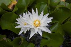 Białego lotosu lub wodnej lelui kwiat z podeszczowymi kroplami zdjęcia stock