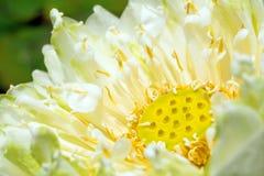 białego lotosu okwitnięcia kwiat Zdjęcie Royalty Free