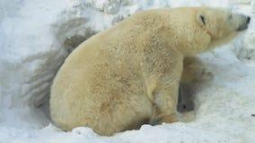Białego niedźwiedzia kraule out popierają od lair zbiory