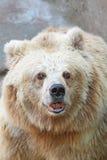 Białego niedźwiedzia ryczeć zdjęcia stock