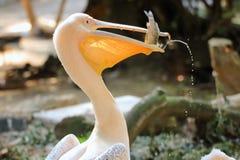 Białego pelikana łapiący rybi Pelecanidae fotografia stock