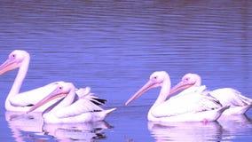 Białego pelikana Pelecanus onocrotalus także znać jako różowy pelikan zbiory