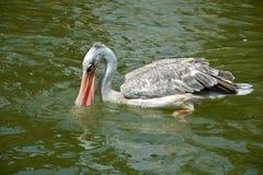Białego pelikana połów w naturze Fotografia Royalty Free