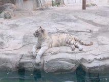 Bia?ego tygrysa wygodny ?ycie zdjęcia stock